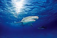 Lemon Shark, Negaprion brevirostris, Bahamas, Grand Bahama Island, Caribbean, Atlantic Ocean