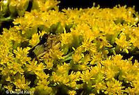 AM01-017x  Ambush Bug camouflaged on goldenrod  -  Phymata americana
