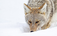 Coyotes are somewhat underrated, but often provide some nice photo ops during winter.