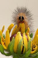 Moth caterpillar species.