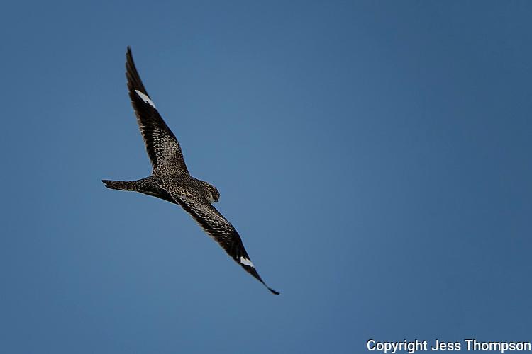 Common Nighthawk in flight, San Angelo State Park, TX