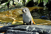 """SOUTH GEORGIA - HERCULES BAY<br /> Small Fur Seal pup """"wrapped"""" in Kelp<br /> <br /> Full size: 69,2 MB"""