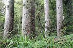 Kauri Tree, New Zealand