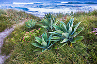 Succulents Agave attenuata in coastal seaside grass meadow dune garden with sedge (Carex pansa) and wild rye