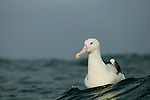 Southern Royal Albatross (Diomedea epomophora) on water, Kaikoura, South Island, New Zealand