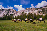Cowboy leading a string of black pack mules in the John Muir Wilderness, California