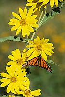 Monarch (Danaus plexippus), adult on maximilian sunflower,Hill Country, Texas, USA
