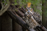 Ellie Schiller Homosassa Springs Wildlife State Park, Homosassa, Florida; a Great Horned Owl standing on a fallen tree trunk