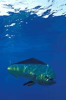 mahi mahi, dorado or dolphinfish Coryphaena hippurus, La Guaira Bank, Venezuela, South America, Caribbean, Atlantic (c, dm)
