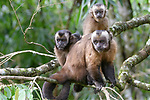 Female tufted or brown capuchin (Cebus apella) (sometimes Sapajus apella) with infants in mid-altitude montane forest, Manu Biosphere Reserve, Peru.