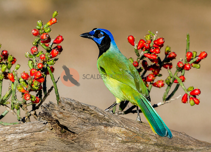 Green Jay perched on stump with pencil cactus behind the wooden stump