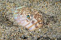 Snakefish, Trachinocephalus myops with isopod parasite, Anilao, Batangas, Philippines, Pacific Ocean