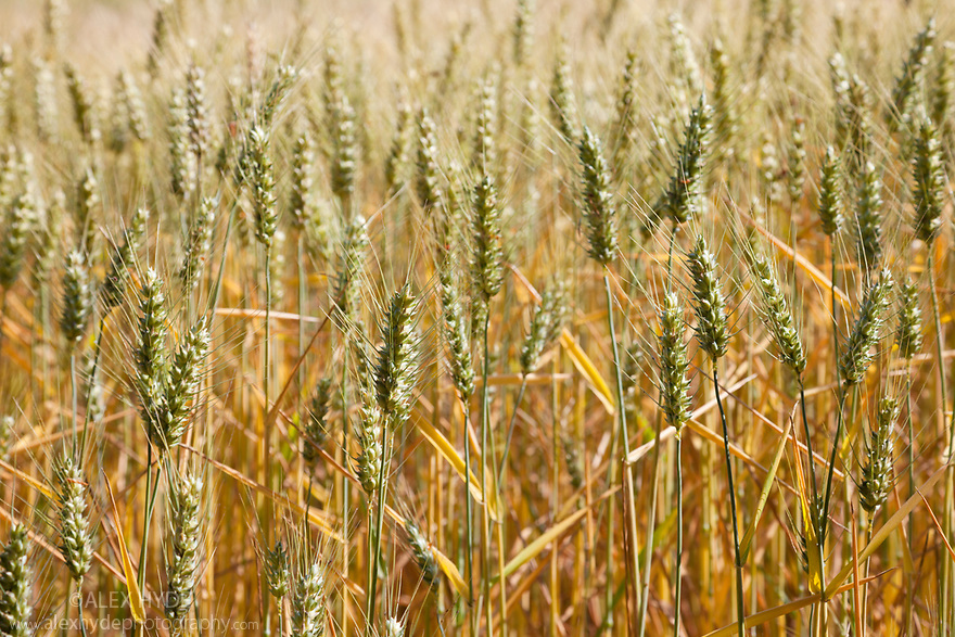 Wheat field, Nomandy, France. July.