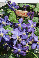 Blue flowers of Clematis jackmanii climber vine with handmade plant sign of wood with hand printed in red