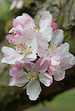 """Blossom of Apple 'Mannington's Pearmain', early May. An English dessert apple ... """"arose c. 1770 from cider pomace thrown under hedge in garden of blacksmith, Mr Turley, Uckfield, Sussex. Sent 1847 to London Hort Soc by his grandson, John Mannington, local butcher and keen fruit man. Rich, aromatic, not intensely so, but well balanced with definite nutty quality. Esteemed by Victorians."""" (The New Book of Apples by Joan Morgan and Alison Richards)"""