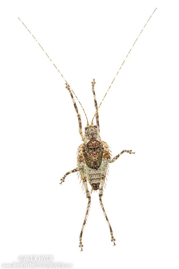 Lichen-mimicking Katydid (Tettigoniidae), photographed on a white background in mobile field stuio. Manu Biosphere Reserve, Amazonia, Peru. November.