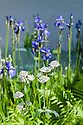 "Border containing irises, Astrantia major, and ferns. ""Witan Wisdom"" Garden, RHS Chelsea Flower Show 2009."