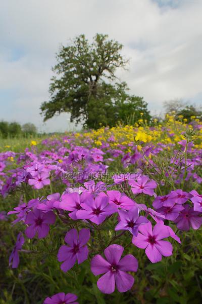 Prairie phlox (Phlox pilosa), mixed wildflower field, Floresville, Texas, USA