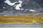 Female polar bear (Ursus maritimus) exploring shore line with no ice. Ice thawed possibly because of global warming / climate change. Woodfjorden, northern Spitsbergen, Svalbard, Arctic Norway.