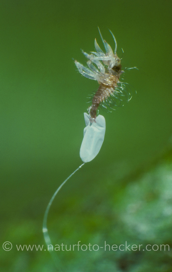 Florfliege, Larve schlüpft aus dem Ei, Florfliegenlarve, Chrysopa spec., green lacewing, egg, eggs, Chrysopidae, Florfliegen, Goldaugen, lacewings