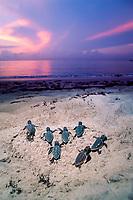 loggerhead sea turtle hatchlings, Caretta caretta, emerging from sand and crawling towards ocean, Juno Beach, Florida, USA, Atlantic Ocean