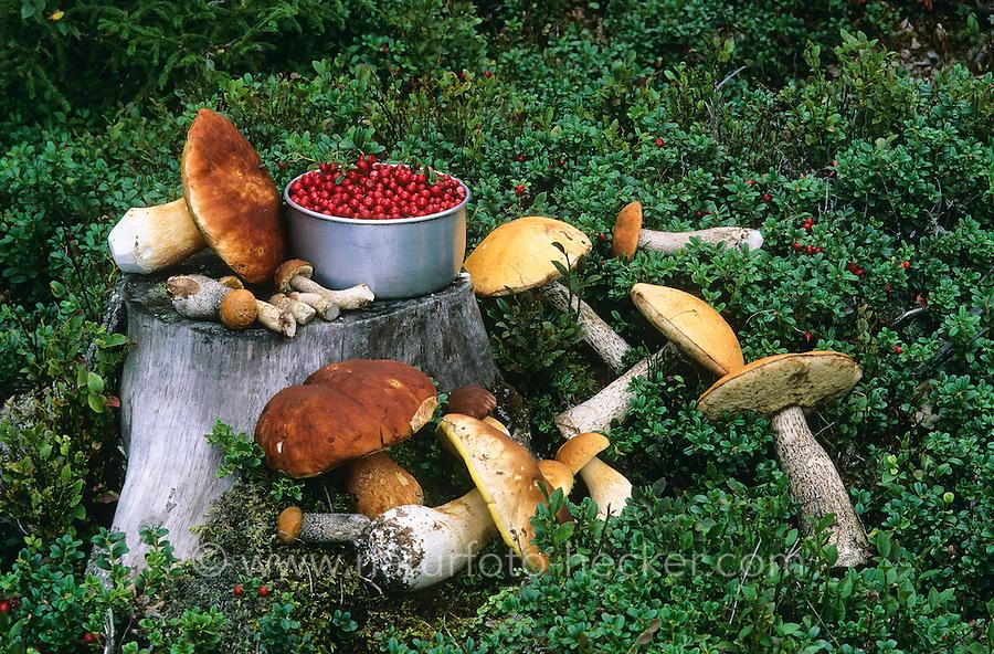 Gesammelte Pilze für eine Mahlzeit, Pilzmahlzeit, Pilzeernte, Pilze sammeln, Outdoor, Rotkappe, Rotkappen, Leccinum spec., Orange Bolete und andere Speisepilze. Gemeinsam mit Preiselbeere, Preiselbeeren, Vaccinium vitis-idaea, Cowberry, Foxberry