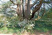 Ancient tree at the Hoplands, Aiken, SC.