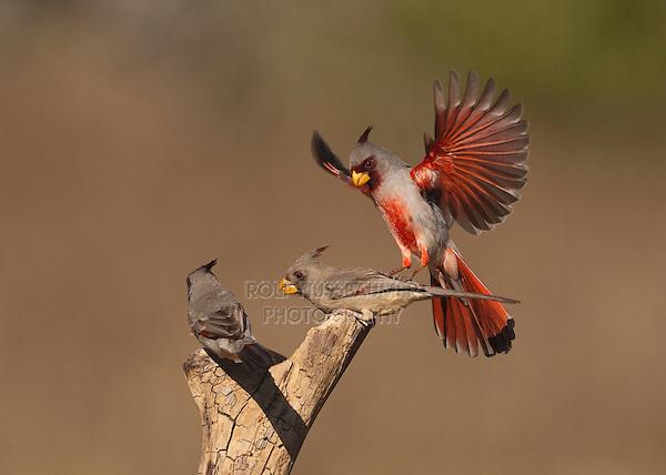 Pyrrhuloxia (Cardinalis sinuatus), male and female fighting, Starr County, Rio Grande Valley, South Texas, USA