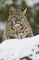 Bobcat walking over the top of a snow covered hill - CA