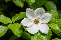Pacific dogwood (Cornus nuttallii).  Pacific Northwest.  Spring.