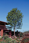 13186-CD Raywood Ash or Claret Ash, Fraxinus oxycarpa `Raywood', deciduous tree in April at Schmidt Residence, Bakersfield, CA USA