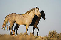 Mustang Horse (Equus caballus), pair, Pryor Mountain Wild Horse Range, Montana, USA