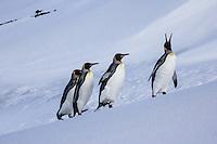 King Penguins on Ice at Heard Island, Antarctica