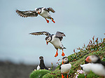 Atlantic Puffins (Fratercula arctica) flying on to the cliff top and gathering around burrows. Isle of Lunga, Treshnish Isles, Isle of Mull, Scotland.