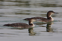 Pair of common loons in winter plumage