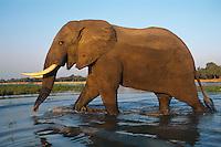 African elephant (Loxodonta africana) bull crossing one of many side channels of Zambezi River, Mana Pools National Park, Zimbabwe.