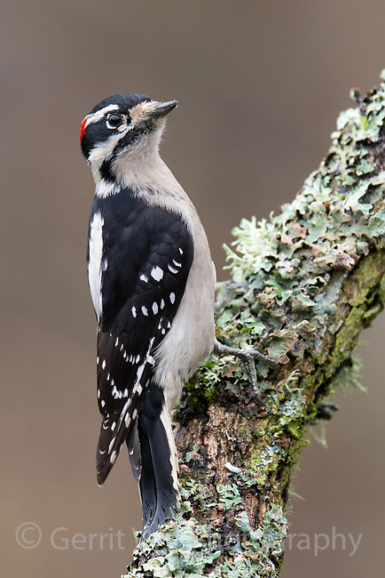 Downy Woodpecker (Picoides pubescens). Washington County, Oregon. November.