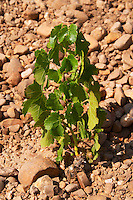 marselan recently planted vines vineyard mas du notaire rhone france
