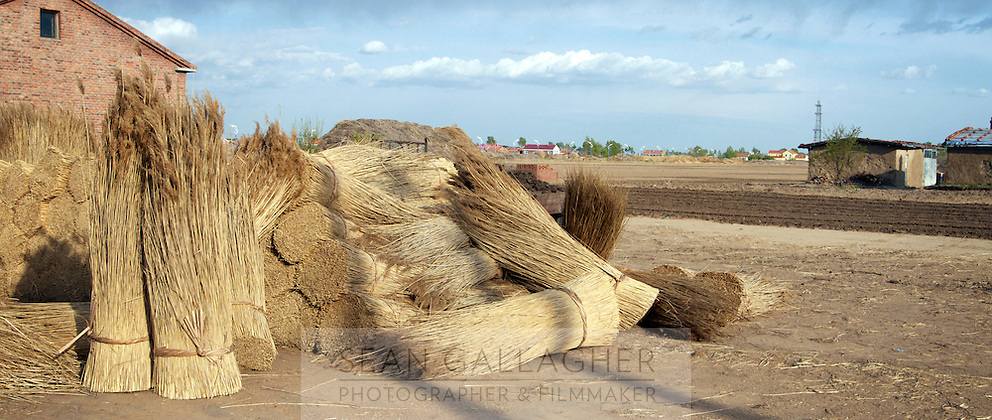 Reeds, harvested from the Zhalong Wetlands, Heilongjiang Province. China. 2011