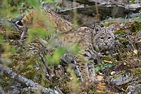 Young Bobcat walking through the brush - CA
