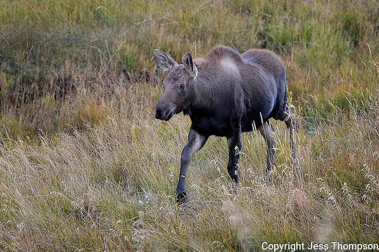 Moose Calf, Grand Tetons National Park, Wyoming