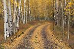 Dirt road leads into an Aspen forest, San Juan Mountains, autumn, Colorado.