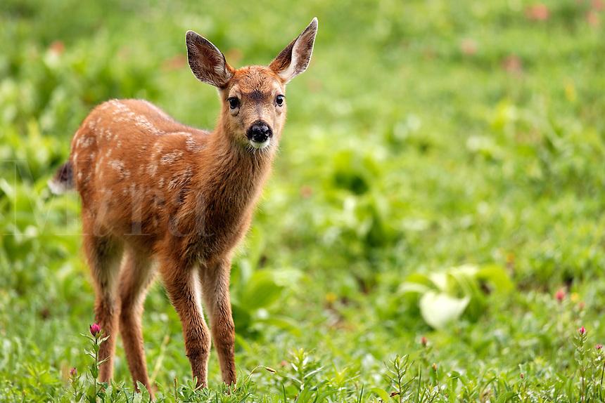 Blacktail deer fawn, Paradise, Mount Rainier National Park, Washington, USA