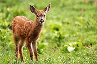 Blacktail deer fawn, Paradise, Mount Rainier National Park, Washington, USA