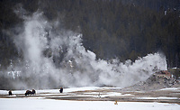White Dome Geyser finishes an eruption while bison graze nearby.