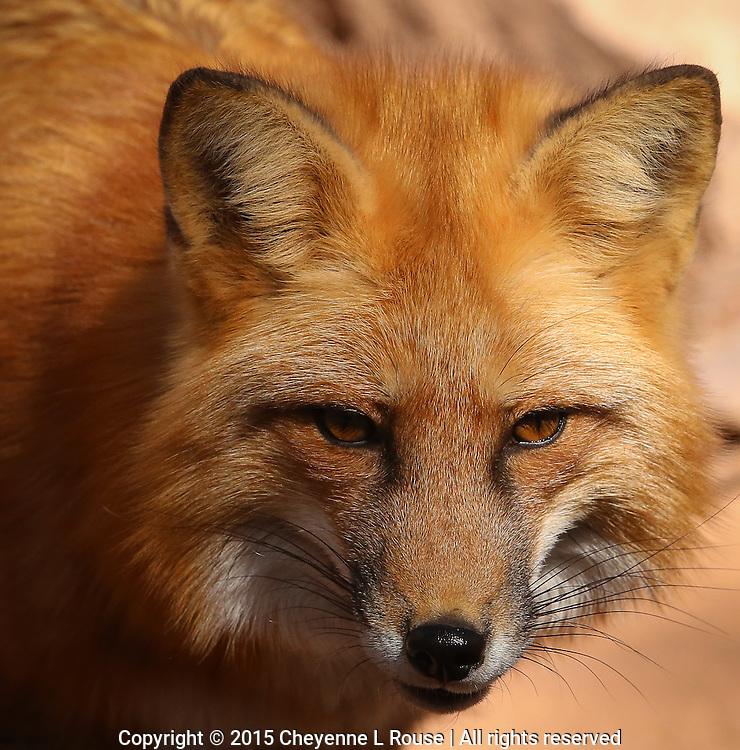 Sly Red Fox - Arizona<br /> (captive)