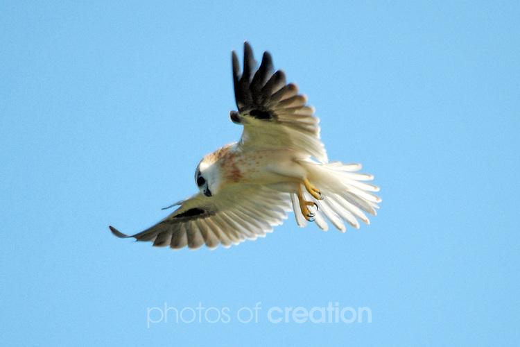 Accipter fasciatus -Brown Goshawk