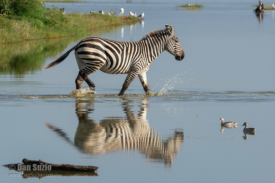 Grant's Zebra, Equus quagga boehmi, walks through shallow water at the edge of Lake Nakuru in Lake Nakuru National Park, Kenya