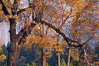 Oak branches turning gold, Yosemite Valley