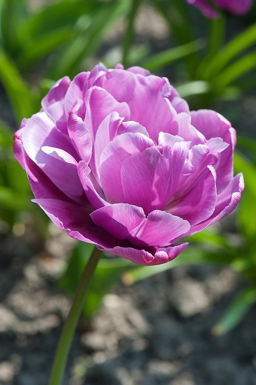 Tulip 'Blue Diamond' (Double Late Group, peony-flowered), late April.
